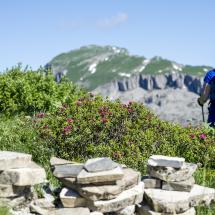 Alpenrosen Wandern Ifen @Dominik Berchtold (19)