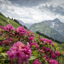 Walmendingerhorn Alpenrosen Widderstein @Dominik Berchtold (2)